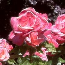Close up of a pink rose