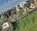 "Cows feeding at a trough behind wire fence; sign saying ""secret bunker"""