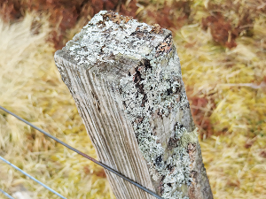Fence post, wire, brown grass, light green lichen, closeup