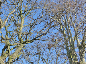 Tangle of bare branches, blue sky behind, birds nesting