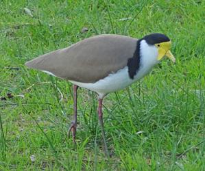Bird with yellow flap around its beak