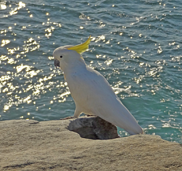 Cockatoo on a rock with sea in background