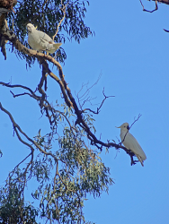 Cockatoos in a eucalyptus tree