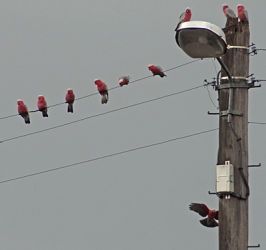 Pink and grey Galahs on power cables