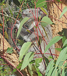 Koala in a tree almost obscured by gum leaves