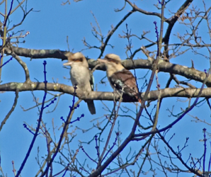 Two Kookaburras in a tree