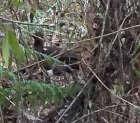 Lyrebird almost obscured by vegetation