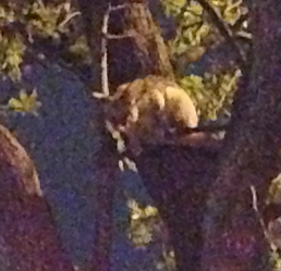 Possum in a tree at night, barely visible