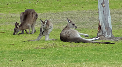 Three kangaroos grazing and lying on a lawn