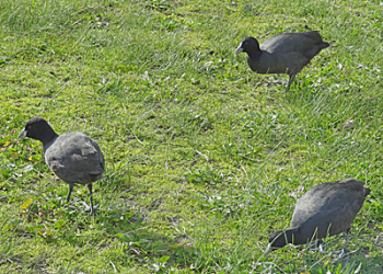Three black coloured birds with white beaks walking on grass