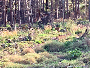 Faun against pine trees in a clearing