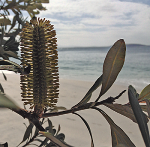 Banksia Intergrifolia, coast of NSW