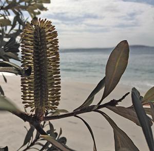 Banksia Intergrifolia, coast of NSW