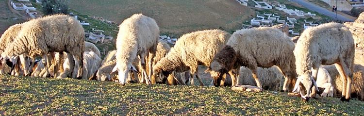 SheepFez