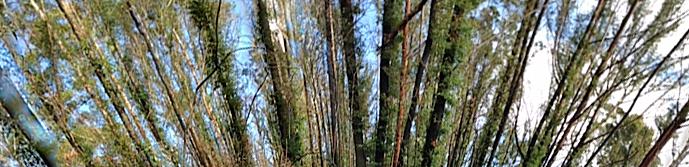 Panorama burnt trees1