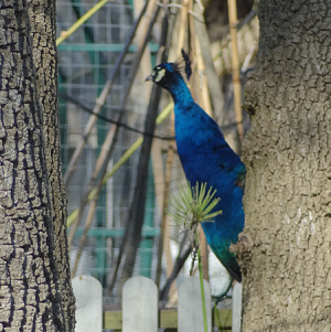 Peacock - 1